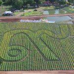 """#เปิดให้เข้าชมแล้ว """"ทุ่งดาวเรือง รวมใจภักดิ์"""" บานสะพรั่ง ๔๕๐,๐๐๐ ต้น พร้อมเลข ๙ ใหญ่ที่สุดในประเทศไทย"""